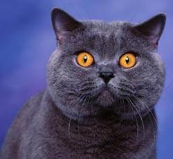 Описание породы - Британские короткошерстные кошки.