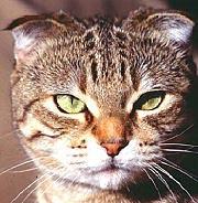 Шотландские вислоухие кошки (fb2) Либрусек Шотландская вислоухая кошка в.
