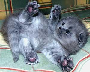 неделькак воспитывать британского вислоухого кота на...  Прямоухие и шотландских вислоухихдобро пожаловать на