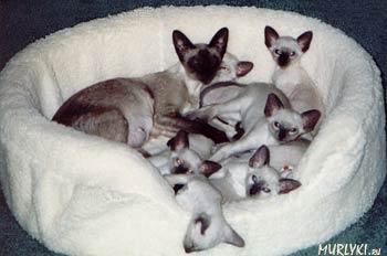 У данной породы существует два типа тела.  Для Сиамских кошек шоу
