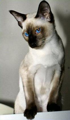 Характер сиамских кошек...