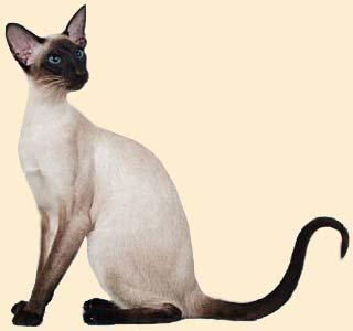 Кошки мурлыки ру сиамские кошки