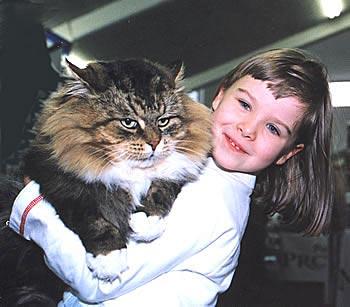 Как и у Персов, у Сибирских кошек вокруг шеи и на груди шерстью...