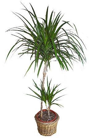 Элегантная стройная драцена окаймленная - популярный вид драцен, который своим сходством с пальмой придает интерьеру...