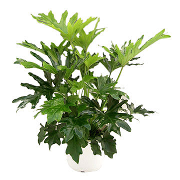 philodendron4.jpg
